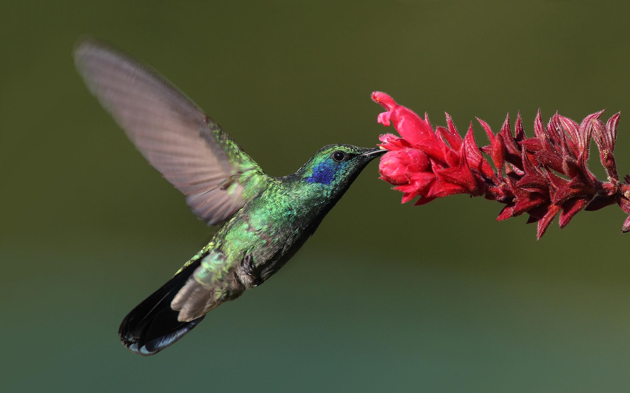Atarnati cu colibri