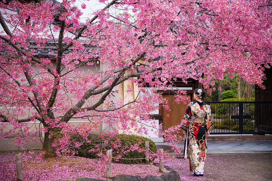 Experimenteaza sezonul Hanami (Cherry Blossom)