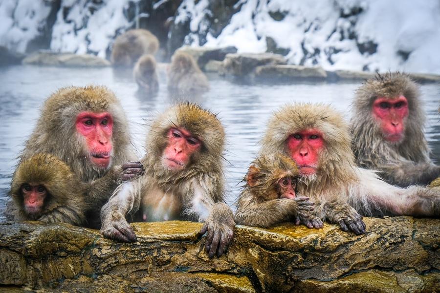 Vedeti maimutele de zapada la Parcul Maimutelor de zapada Jigokudani